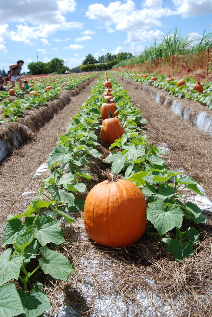 """Pumpkin """"picking"""" - here in Florida the pumpkins don't grow out of the ground, they come pre-picked from Indiana or somewhere on a truck and little elves distribute them into the fields where they are magically aligned as if they are growing. Then you """"pick"""" (as in, choose) one and bring it home."""