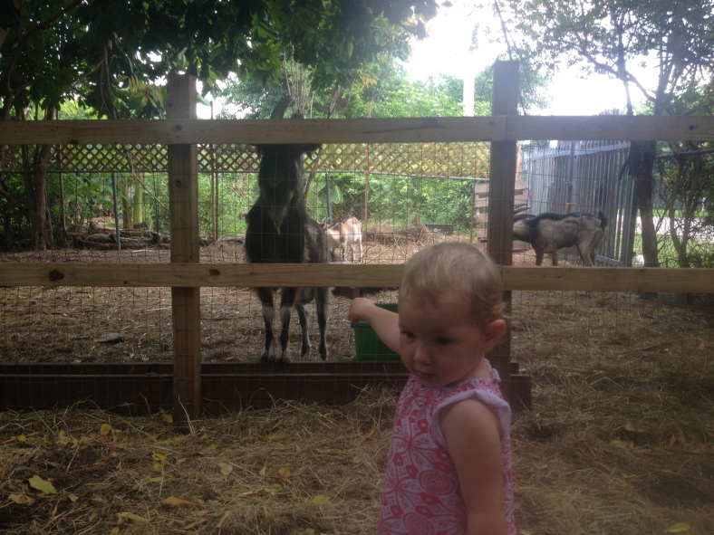 The third and final stage of Sunday sunday: visiting our friends' goats!