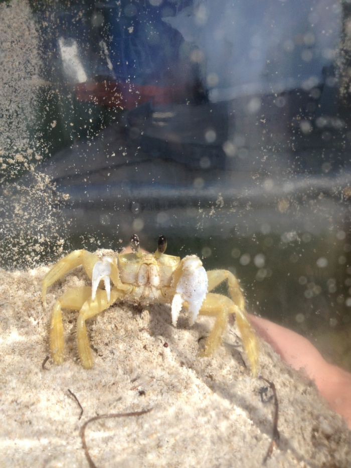 Ghost crab! We finally found one on our visit with Uncle Yoni at his lab this week! Very exciting stuff.