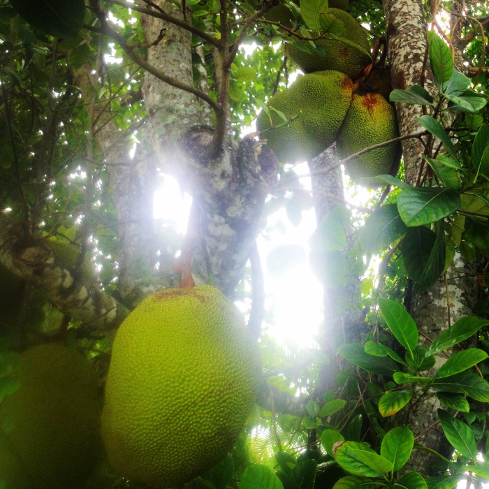 Jackfruit on a friend's backyard tree